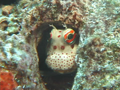 Red-spotted blenny hiding, Blenniella chrysospilos, UP7692 Stock Footage