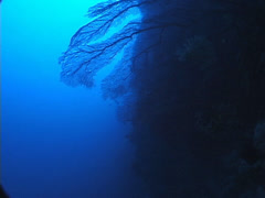 Distant group of scuba divers swimming on deep wall in New Caledonia, UP7694 Stock Footage