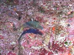 Lantern toby swimming, Canthigaster epilampra, UP7701 Stock Footage