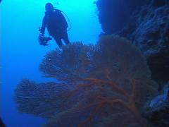 Videographer feeding on deep wall with Red sea fan in New Caledonia, UP7704 Stock Footage
