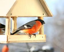 male bullfinch. winter day - stock photo