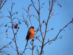 bullfinch - stock photo