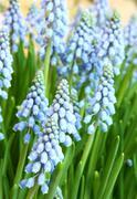 hyacinthus orientalis - stock photo
