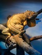 iguana in blue terrarium light - stock photo