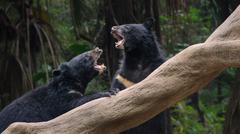 Kaksi mustaa karhuja taistelut Kuvituskuvat