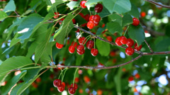 Agriculture, beautiful red cherry fruit at tree branch Stock Footage