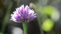 Blooming chive Stock Footage