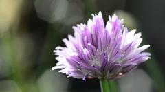 Blooming chive - stock footage