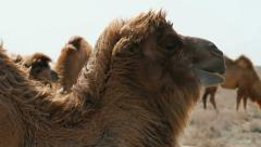Camel eating and Chewing Stock Footage