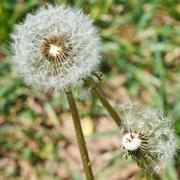 two seed heads of dandelion blowballs close up - stock photo