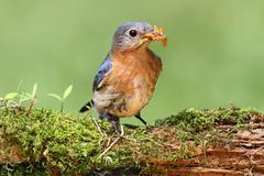 Eastern bluebird Stock Photos