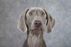portrait of wirehaired slovakian pointer dog - stock photo