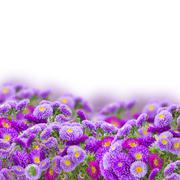 Border of violet aster flowers Stock Photos