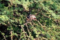red- whiskered bulbul - stock photo
