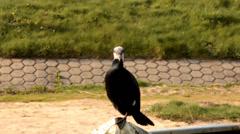 Great Cormorant Loop Stock Footage