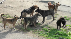 Stray dogs flock street Stock Footage
