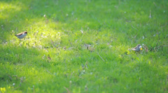 Sparrows on the lawn Stock Footage