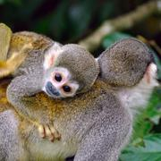 Baby squirrel monkey on the back of his mom in amazon rainforest Stock Photos