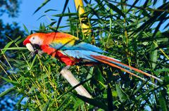 amazonian macaw - ara ararauna in front of a blue sky - stock photo