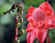 closeup of plant from  jungle torch ginger, phaeomeria magnifica. amazonia, e - stock photo