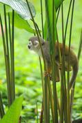 Squirrel monkey in amazon rainforest Stock Photos