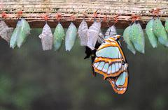 Rows of butterfly cocoons Stock Photos