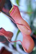 heliamphora, predatory carnivorous orchid from the ecuadorian amazon - stock photo