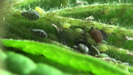 Stock Video Footage of Aphid insects macro