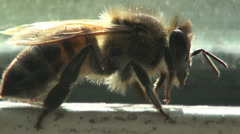 Insects bee macro Stock Footage