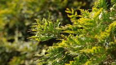 Branch cupressocyparis on green background Stock Footage