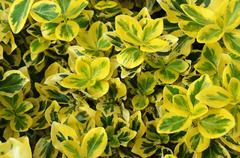 emerald´s gold yellow-green shrub - stock photo