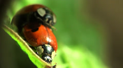 Insects Macro red ladybug Stock Footage