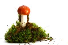 isolated mushroom - stock photo