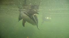 Humboldt Penguins Stock Footage