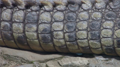 Nile crocodile, Crocodylus niloticus, skin close up, pan from tail to head Stock Footage