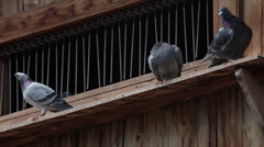 Four pigeons on dovecot, doves, domestic flying birds pecking their feathers - stock footage