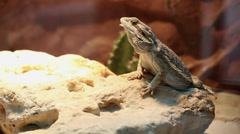 Bearded dragon lizard Pogona vitticeps, funny reptile in captivity at the Zoo Stock Footage