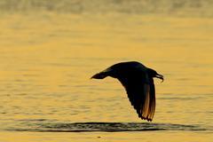 Seagull, Laridae, at sunset Stock Photos