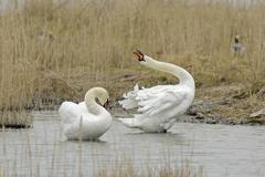 Stock Photo of Mute swans, Cygnus olor