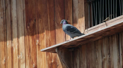 Pigeons and sparrow on dovecot, dove carrying small branches for the nest Stock Footage