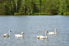 Mute swan cygnus olor Stock Photos