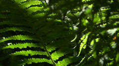 Fern In Forest - 03 Stock Footage