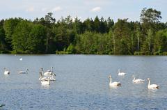Swans on th lake Stock Photos
