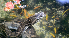 Large Python in Orchard Stock Footage