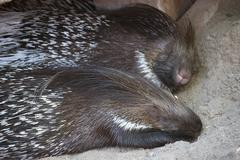 Indian Crested Porcupines - stock photo