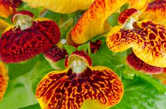 Closeup of yellow and red calceolarua flowers Stock Photos