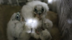Peregrine falcon babies - stock footage