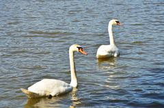 two swans on the lake - stock photo