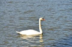 swan on the water - stock photo