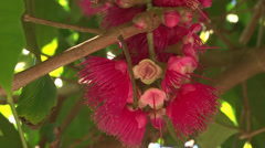 Red flowers of an exotic fruit of south america Stock Footage